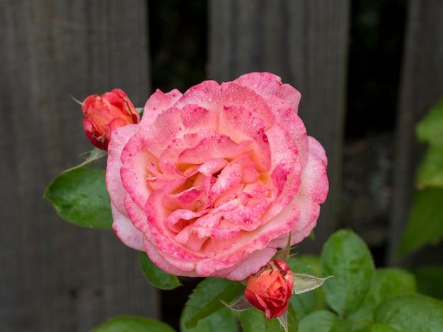 Gros plan de rose sauvage rose avec des gouttes d'eau sur les pétales après la pluie