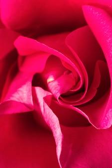 Gros plan, de, rose