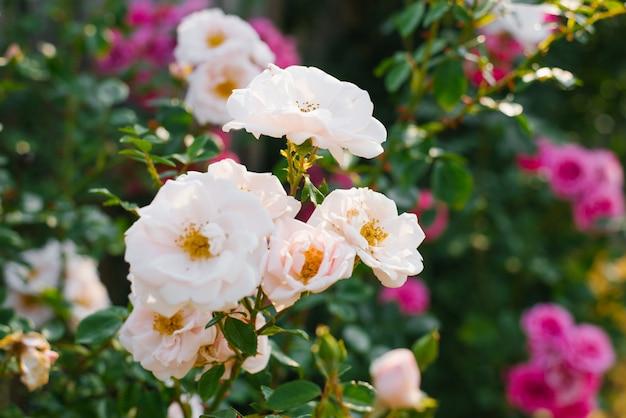 Gros plan de roses bush violet et rose pâle