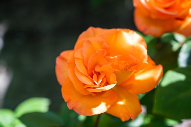 Gros plan de roses de jardin orange entouré de verdure sous la lumière du soleil avec un arrière-plan flou