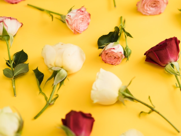Gros plan des roses de printemps