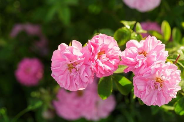Gros plan de rosier rose sur fond de champ