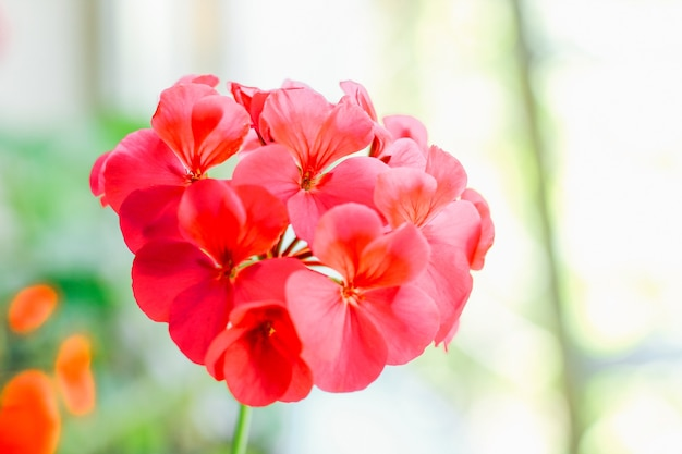 Gros plan rouge pélargonium.