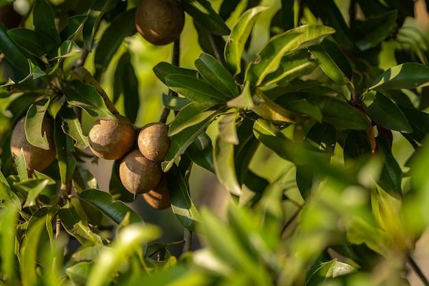 Gros plan de la sapotille pousse sur l'arbre de la sapotille dans un fond de jardin feuilles de sapotille en thaïlande, fruits pour la santé
