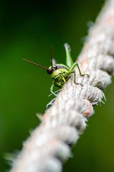 Gros plan d'une sauterelle sur une corde