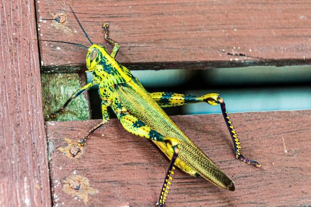 Gros plan d'une sauterelle jaune sur une clôture en bois