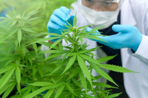 Gros plan d'un scientifique avec des gants et des lunettes examinant la plante de chanvre cannabis sativa