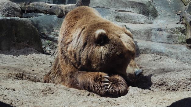 Gros plan sélectif d'un grizzli couché