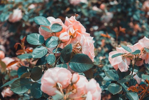 Gros plan sélectif de roses pêche à feuilles vertes