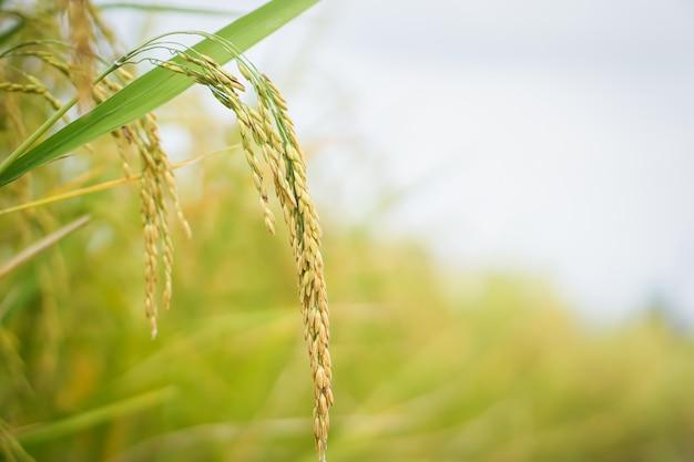 Gros plan de semences de riz dans les rizières