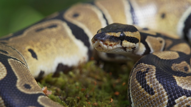 Gros plan de serpent. le boa constrictor lève la tête et regarde la caméra. 4k uhd