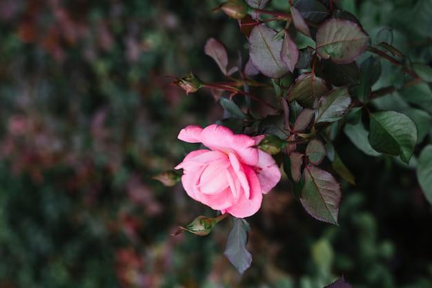 Gros plan d'une seule fleur rose rose