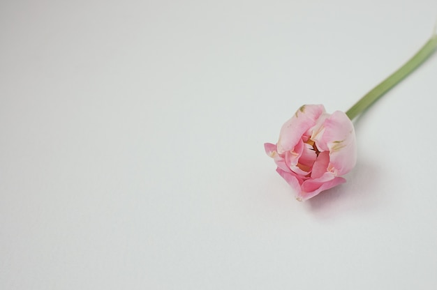 Gros plan d'une seule tulipe rose sur fond blanc, avec fond