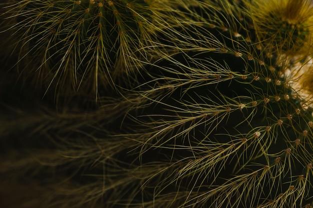Gros plan, shaggy, cactus