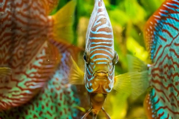 Gros plan sous l'eau du beau poisson discus brun