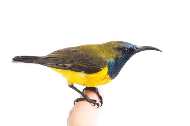 Gros plan d'un sunbird à dos olive