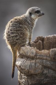 Gros plan d'un suricate curieux
