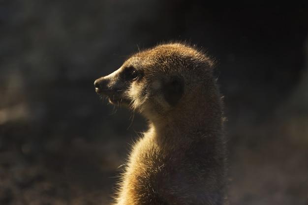 Gros plan suricate debout sur ses pattes arrière