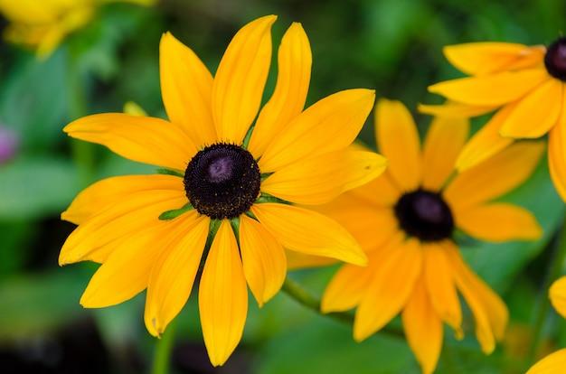 Gros plan de susan noire aux yeux jaunes en pleine floraison dans les jardins botaniques vandusen