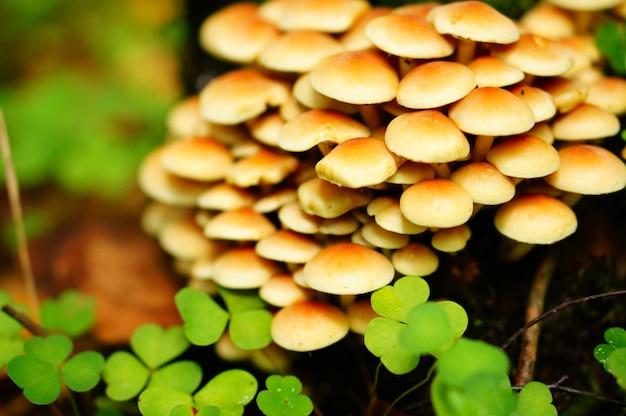 Gros plan d'un tas de champignons avec des trèfles