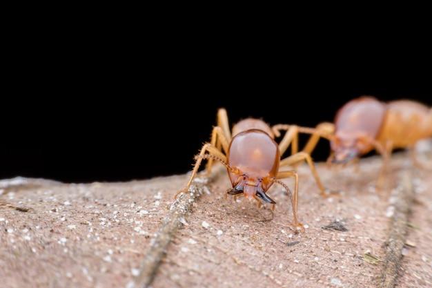 Gros plan termite soldat sur feuille séchée