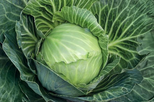 Gros plan, tête blanche de chou avec des feuilles vertes en arrière-plan alimentaire plein cadre