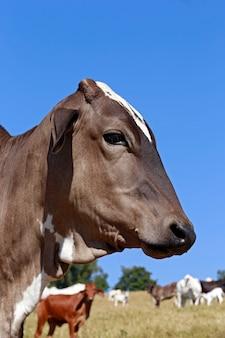 Gros plan, tête bovine, sous, ciel bleu