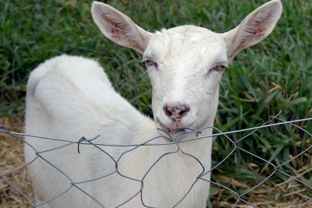 Gros plan de tête de chèvre se penchant sur la clôture