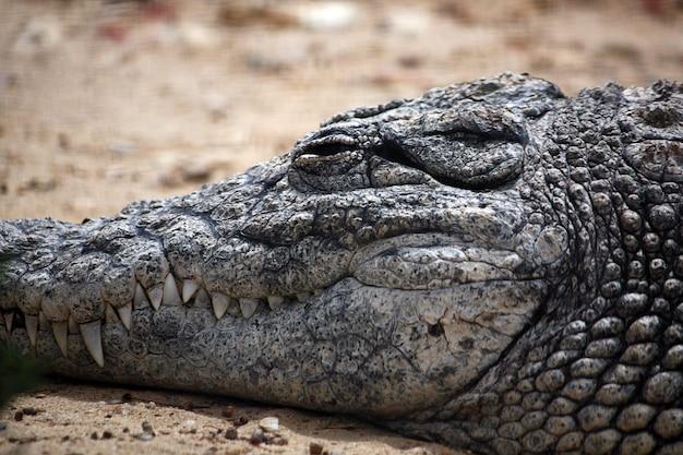 Gros plan sur la tête d'un crocodile endormi.