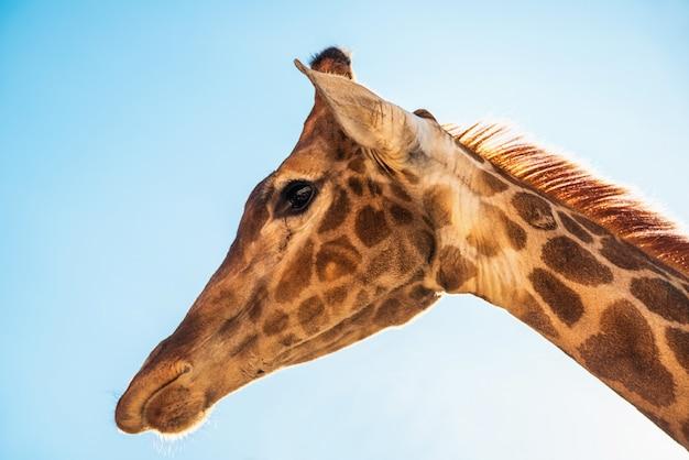 Gros plan tête de girafe