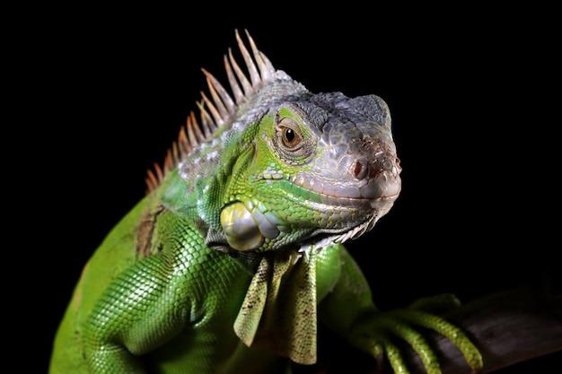 Gros plan tête iguane vert sur mur noir