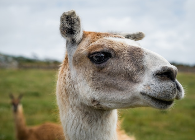 Gros plan de la tête d'un lama