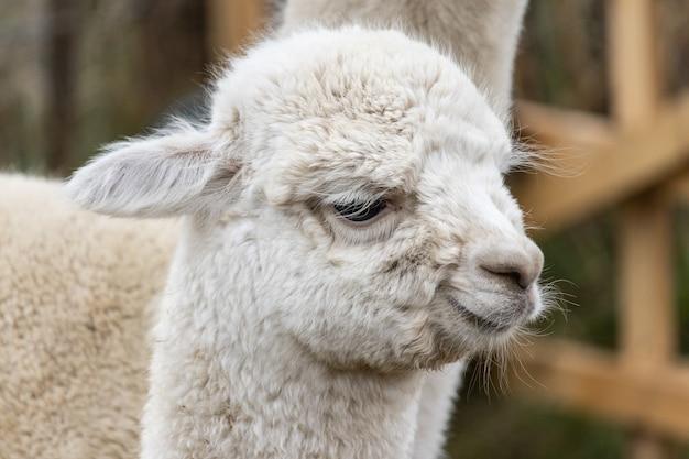 Gros plan sur la tête d'un mignon lama blanc