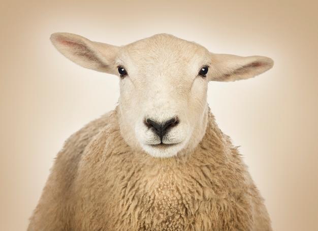 Gros plan d'une tête de mouton devant un espace crème