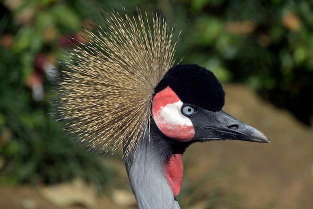 Gros plan de tête d'oiseau grue couronnée noire
