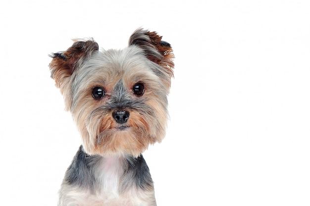 Gros plan tête portrait d'un yorkshire terrier