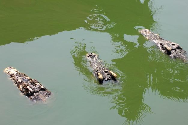 Gros plan d'une tête trois crocodiles