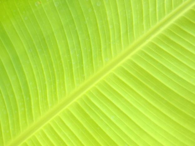 Gros plan de la texture des feuilles de bananier, vert et frais, dans un parc