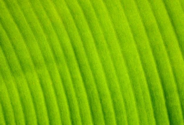 Gros plan de la texture des feuilles de bananier