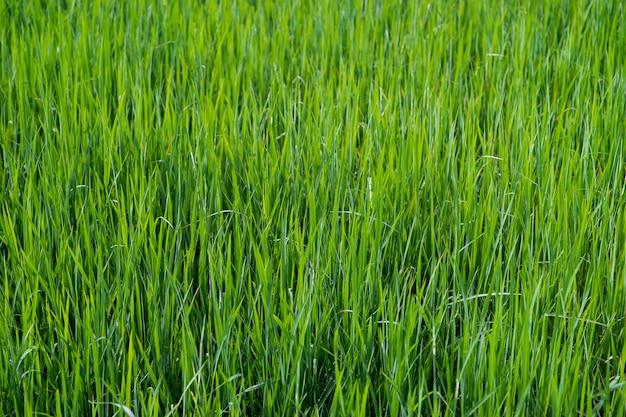 Gros plan sur la texture de l'herbe verte fraîche