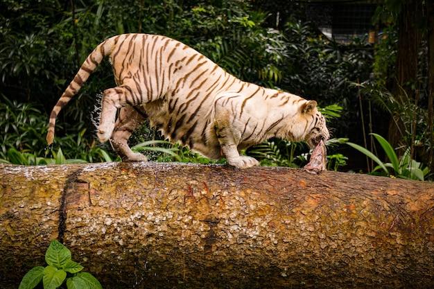 Gros plan d'un tigre agressif qui traverse un tube en bois avec un morceau de viande dans la bouche