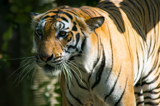 Gros plan, tigre bengal