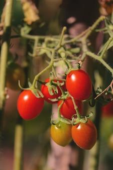 Gros plan de tomates dans le jardin