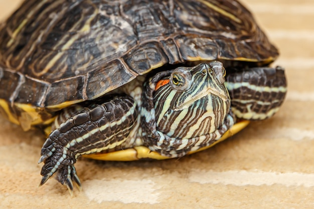 Gros plan sur la tortue rubeared rampant