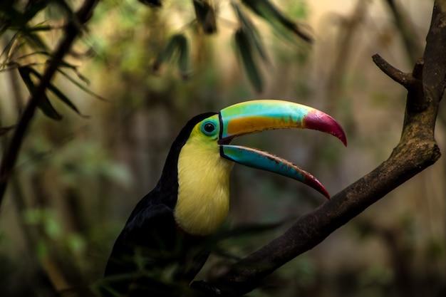 Gros plan d'un toucan à carène (ramphastos sulfuratus)