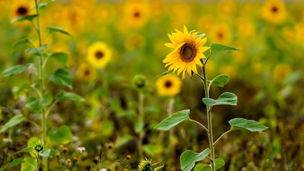 Gros plan de tournesols en fleurs dans un champ dans la journée de pluie, faible profondeur de champ