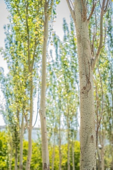 Gros plan d'un tronc d'arbre blanc dans le parc