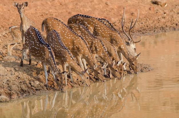 Gros plan d'un troupeau de beaux cerfs de l'eau potable du lac
