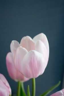 Gros plan, tulipe rose clair