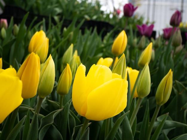 Gros plan de tulipes jaunes dans le jardin sur la nature